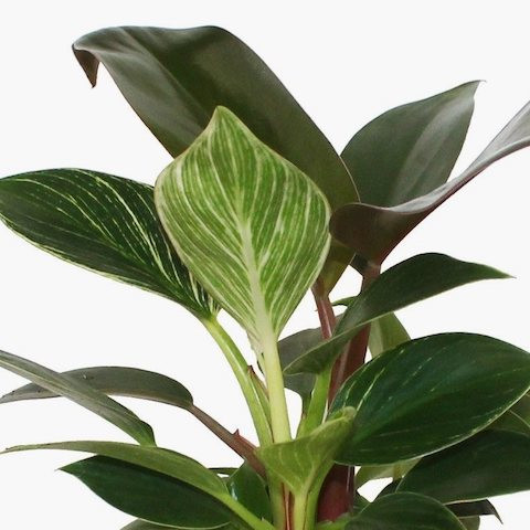 Philodendron 'Birkin x Red Congo'