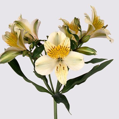 Alstroemeria 'Moving Star'