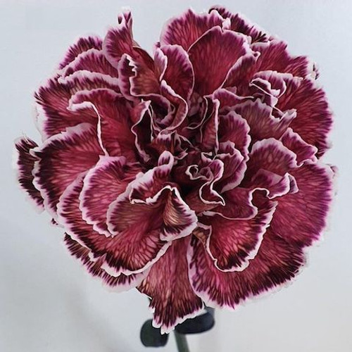 Dianthus Bloody Mary