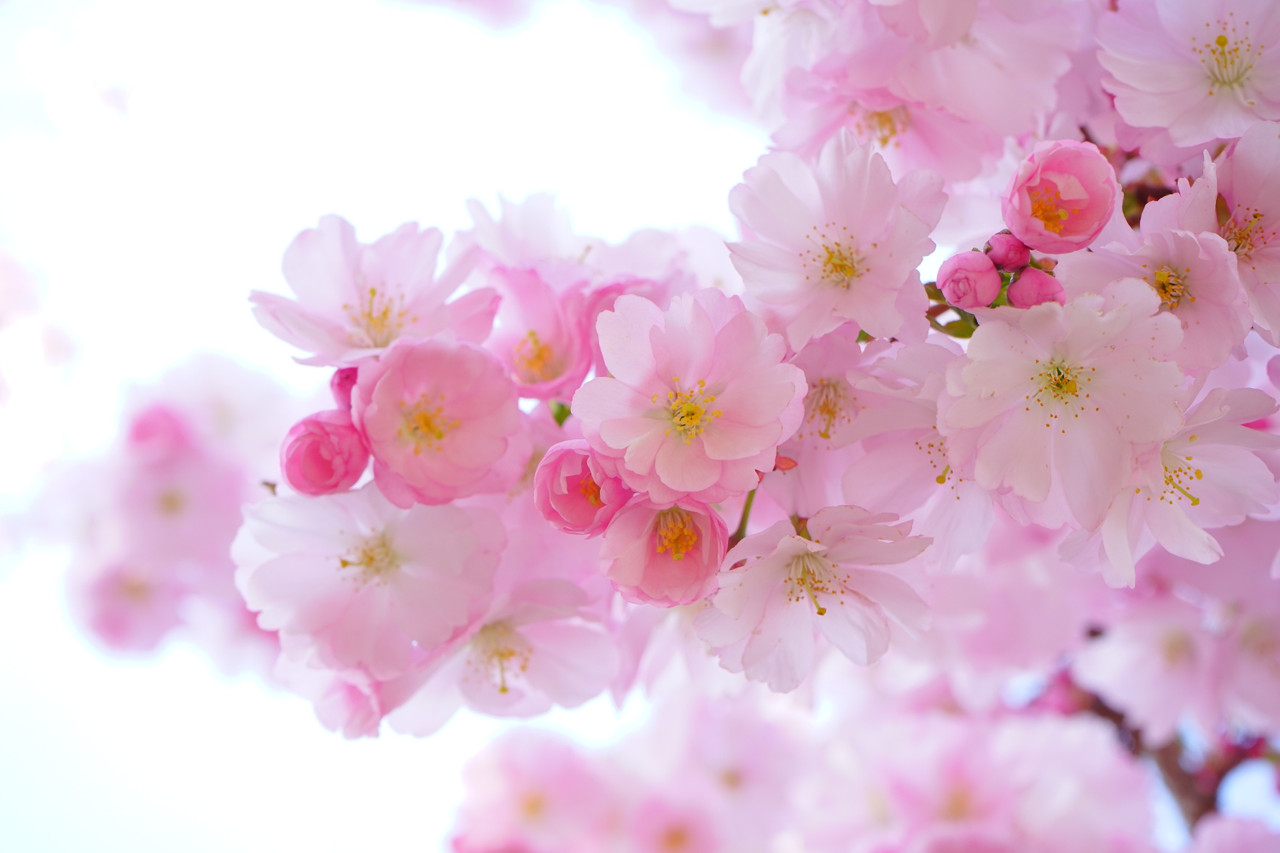 5 Cool Gifts to Celebrate Cherry Blossom Season