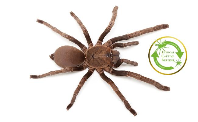 australian-tarantula-phlogius-sp.-kuranda-ecb.jpg
