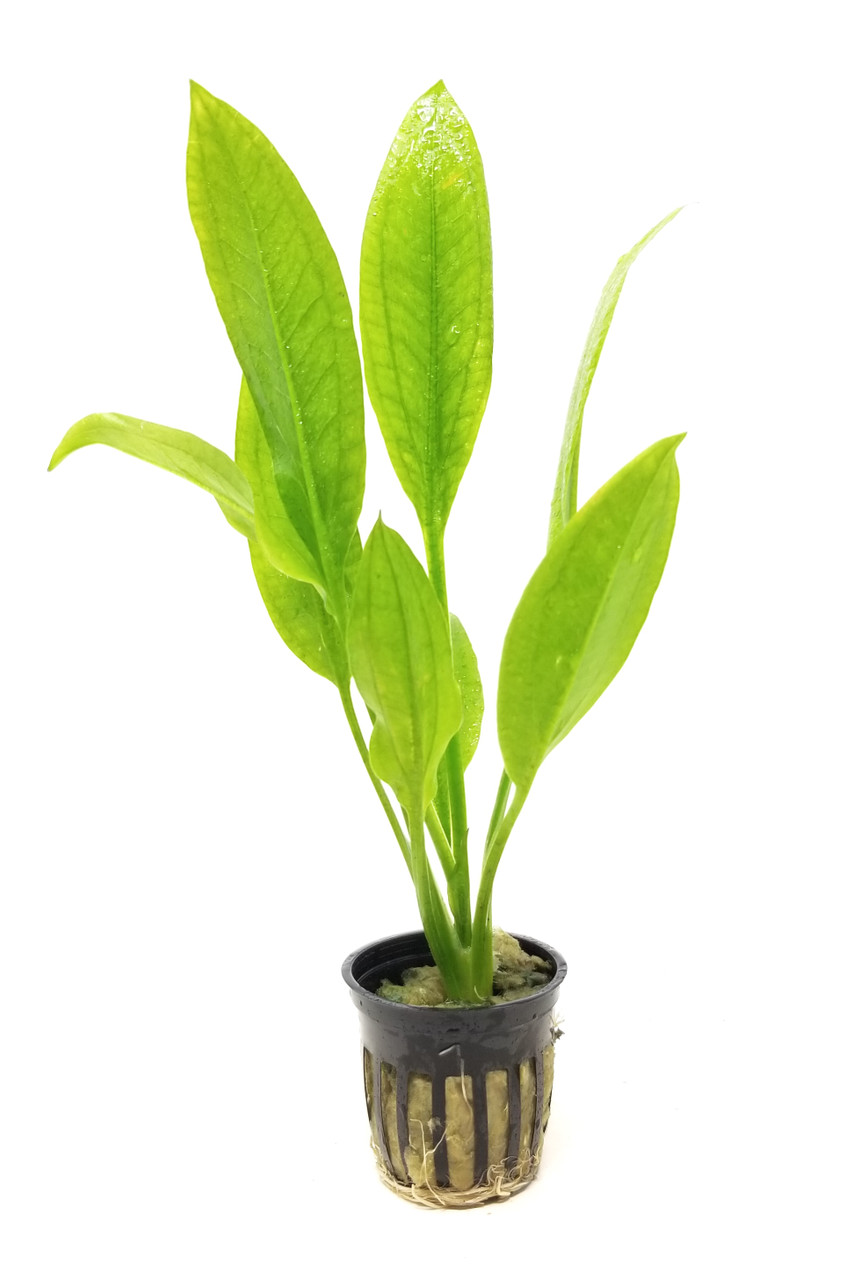 Image result for amazon sword plant