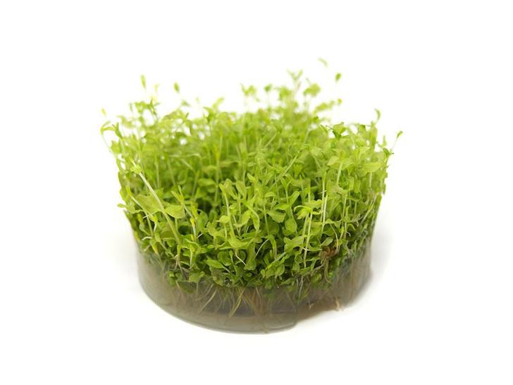 1-2-Grow! Hemianthus Micranthemoides