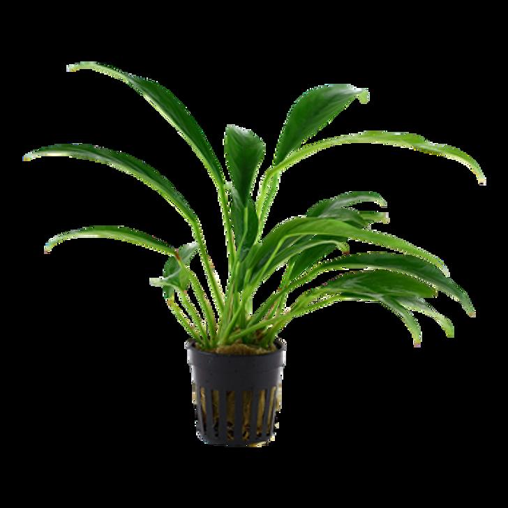 Potted Anubias Barteri var. angustifolia