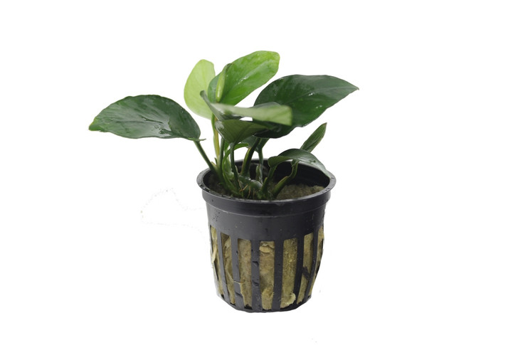 Potted Anubias Nana