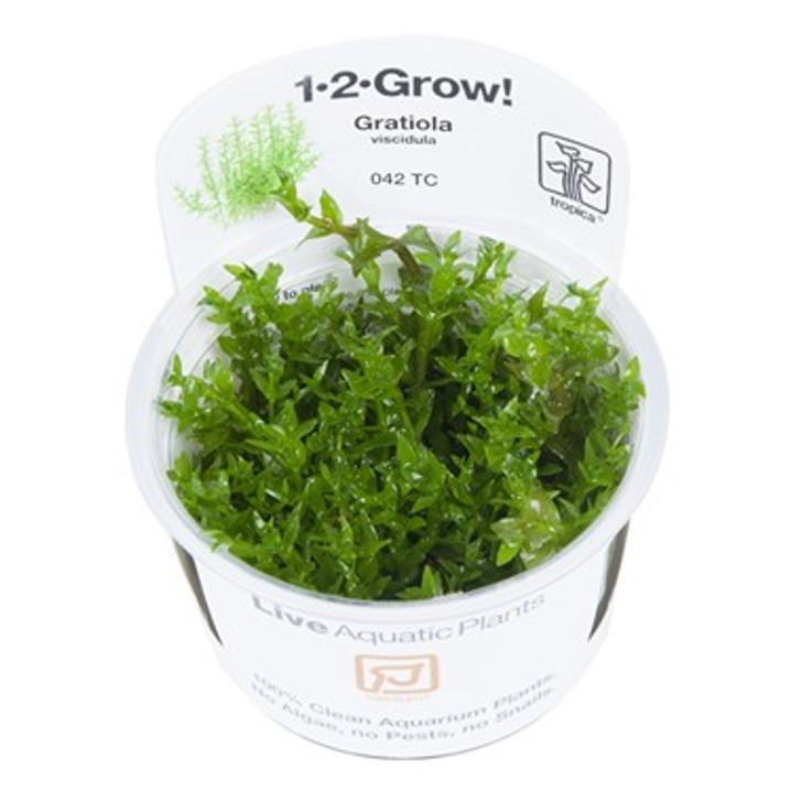 1-2-Grow! Gratiola Viscidula