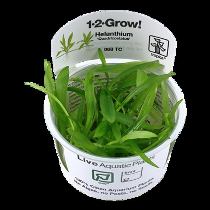 1-2-Grow! Helanthium 'Quadricostatus'