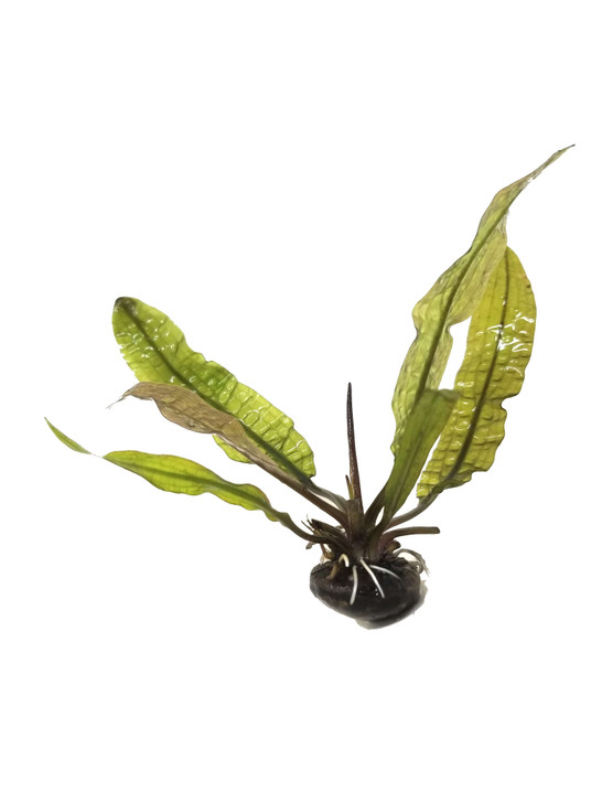 Aponogeton (Boivinianus)