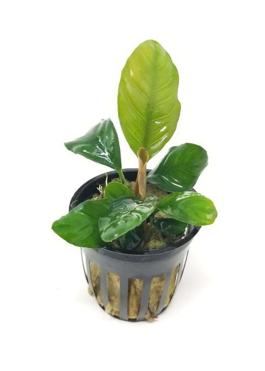 Potted Anubias Coffeefolia