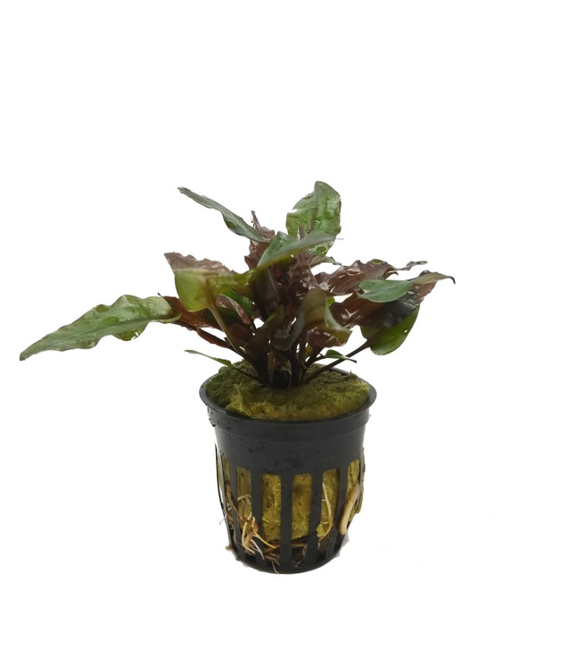 Potted Cryptocoryne Wendtii (Red)