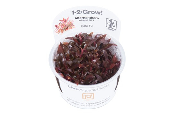 1-2-Grow! Alternanthera Reineckii 'Mini'
