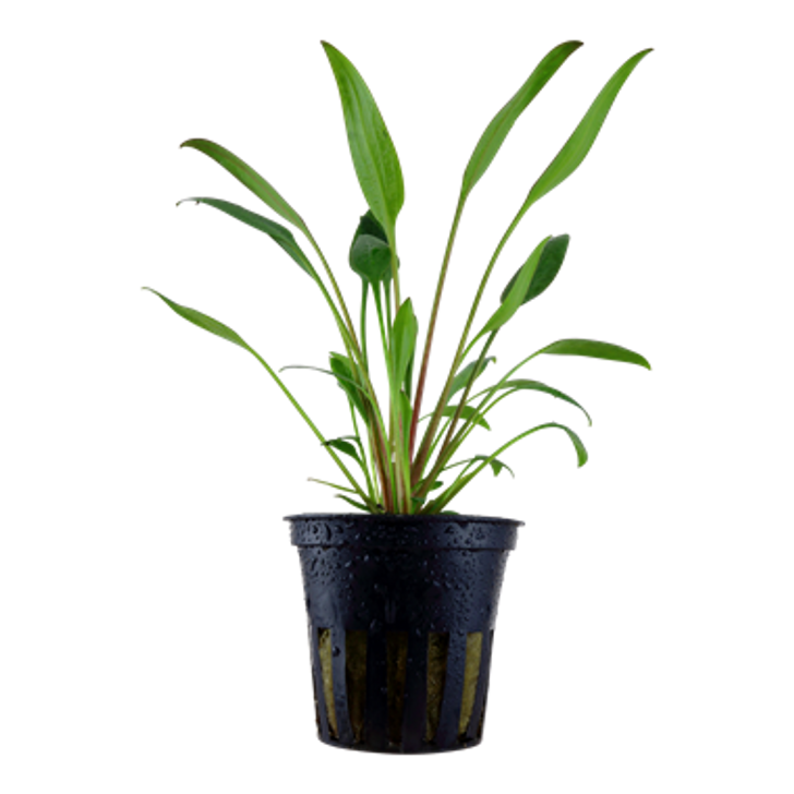 Potted Cryptocoryne X Willisii