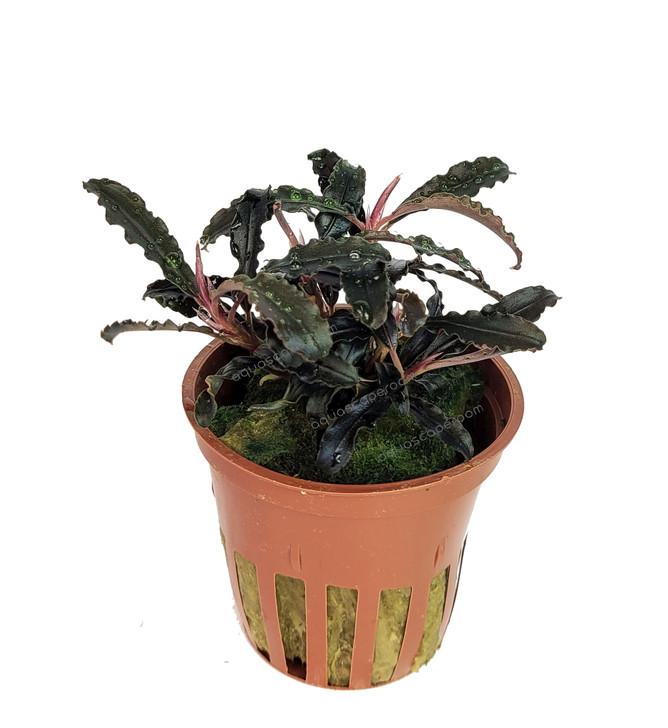 Potted Bucephalandra 'Kedagang'