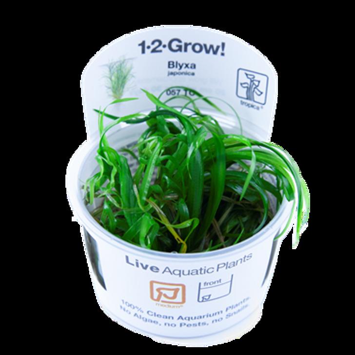 1-2-Grow! Blyxa Japonica
