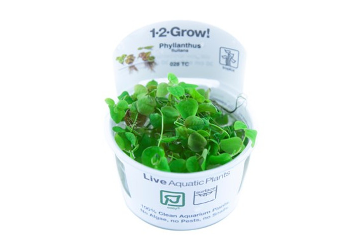 1-2-Grow! Phyllanthus Fluitans (Red Root Floater)