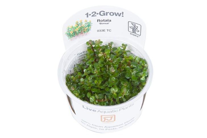 1-2-Grow! Rotala 'Bonsai'