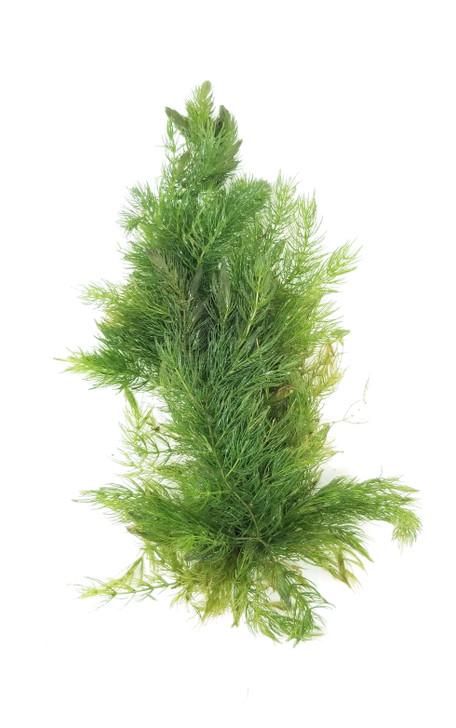 Ceratophyllum Demersum (Hornwort)