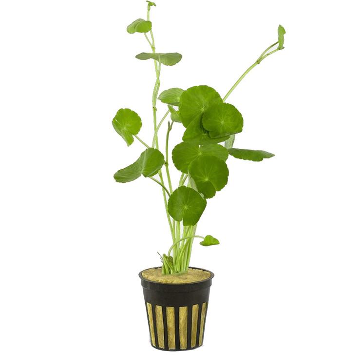 Potted Hydrocotyle Leucocephala (Brazillian Pennywort)
