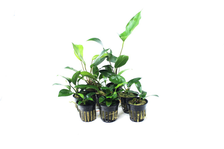 Potted Anubias Trio Combo ( 3- Plant Combo)