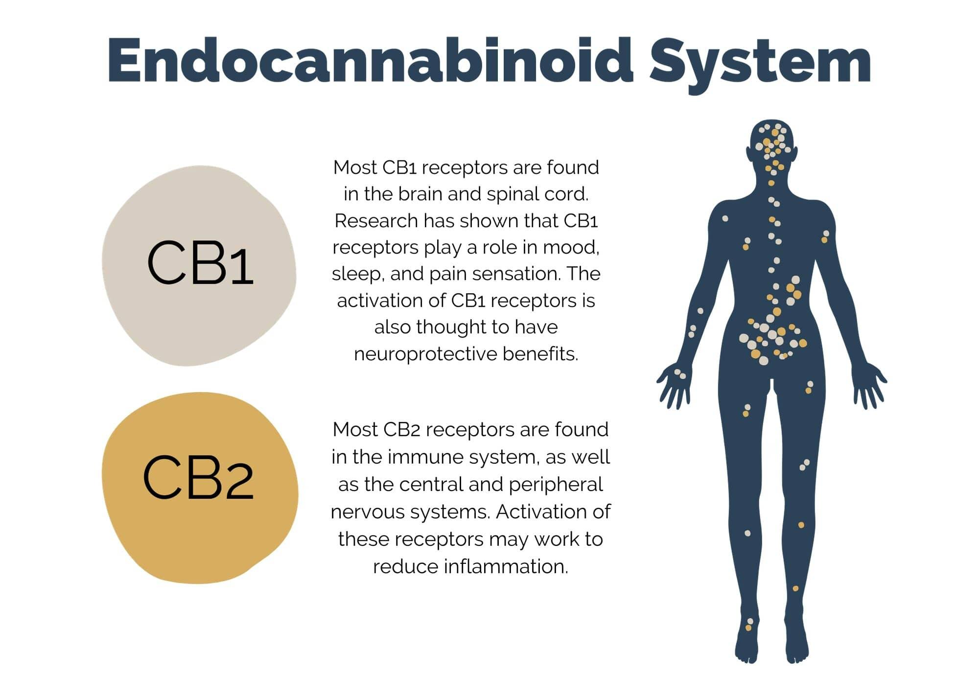 CBD Oil Endocannabinoid System CB1 CB2 Receptors