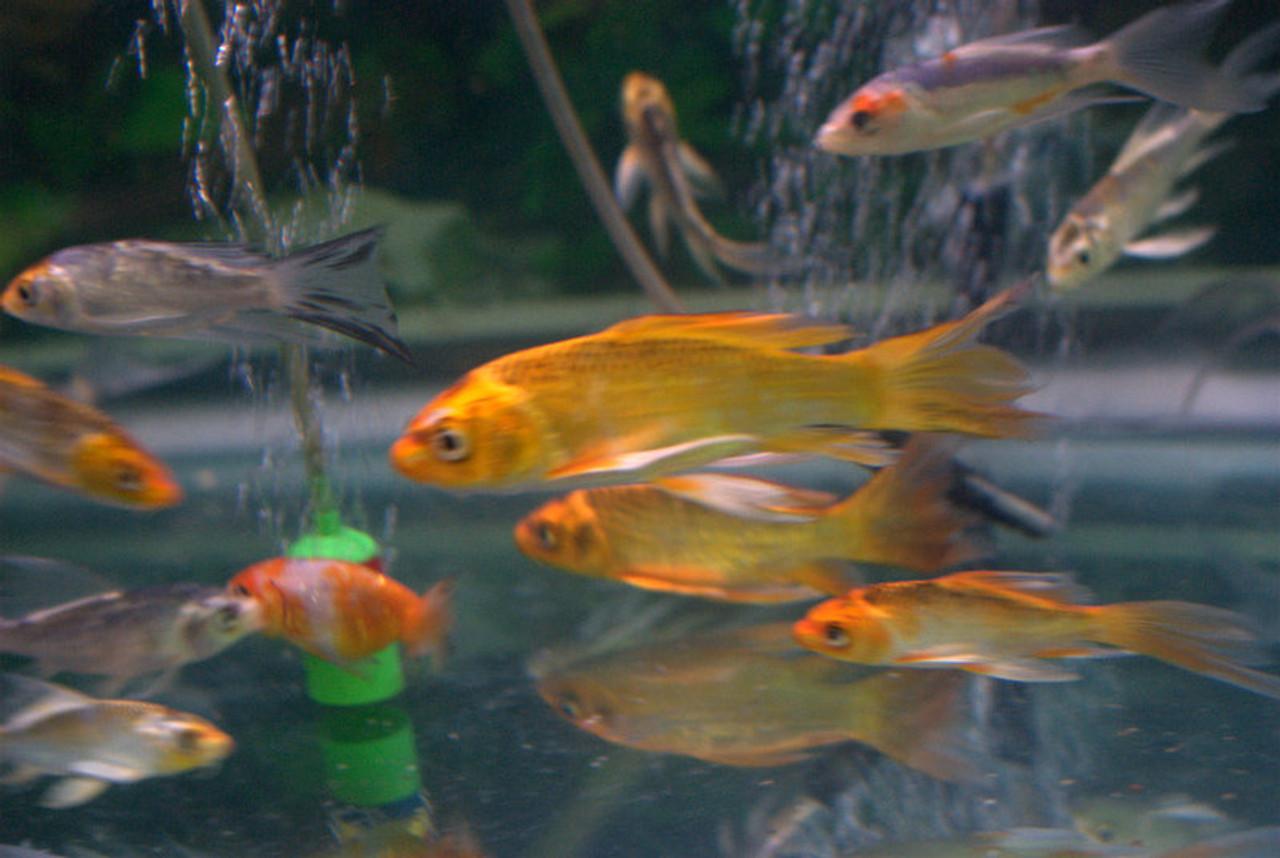 Koi Fish For Freshwater Garden Ponds Butterfly Koi Fish