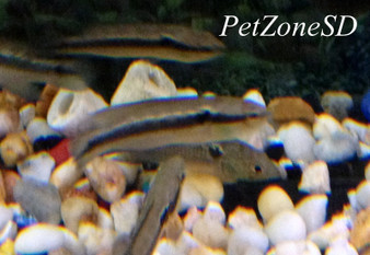 White Spotted Pike Cichlid