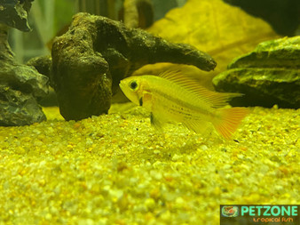 Orange Flash Dwarf Cockatoo Cichlid - Apistogramma cacatuoides