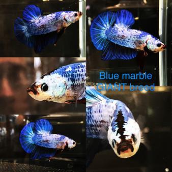 Giant Blue Marbled Plakat Betta, B1