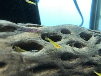Golden Back Yellow Shrimp