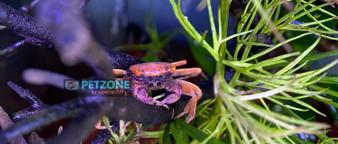 Disco Vampire Crab