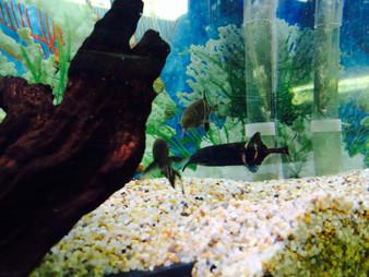 Elephant Nose Fish - Large