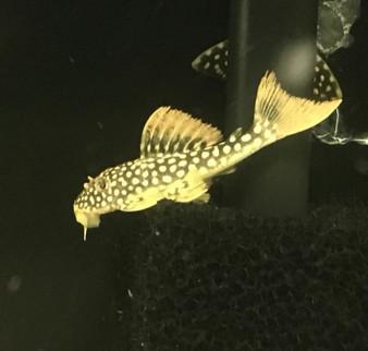 L014 Goldie Pleco (Sunshine Pleco) - Scobinancistrus aureatus