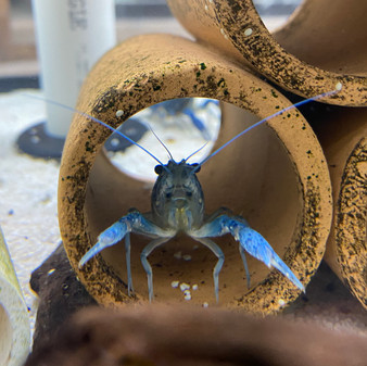 Electric Blue Lobster - Procambarus sp.