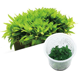 ADA TISSUE CULTURE PLANT - STAUROGYNE REPENS