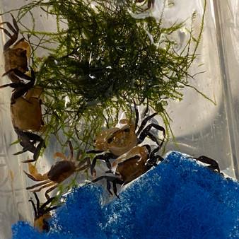 """Panda Crab - Geosesarma sp. """"Borneo"""""""