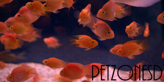 Blood Parrot (Red Parrot) Cichlid - Small