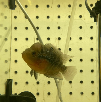 Red Dragon Flowerhorn - A-2