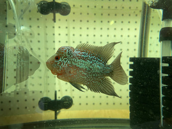 Red Dragon Flowerhorn - A3