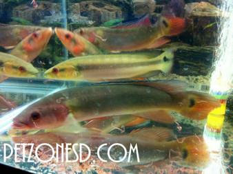 Red Pike Cichlids