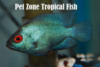 Pet Zone Tropical Fish Freshwater Tropical Fish Store Aquascape Shop San Diego Ca