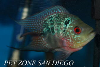 Short-Body Red Dragon Flowerhorn Fry