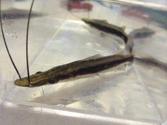 Lima Shovel-nosed Catfish (Sorubim lima)