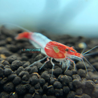 Red Rili Shrimp