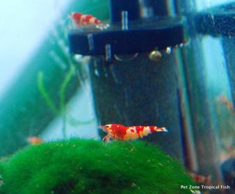 Red Tiger Bee Shrimp