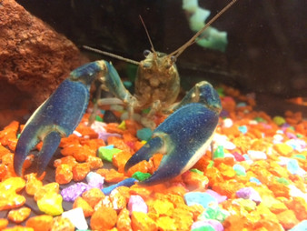 Bluemoon Lobster (Blue Papua)