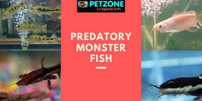 Predatory Monster Fish Back In Stock!