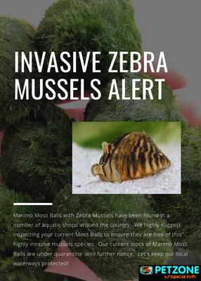 Marimo Moss Ball ALERT: Zebra Mussel Invasive Species Risk