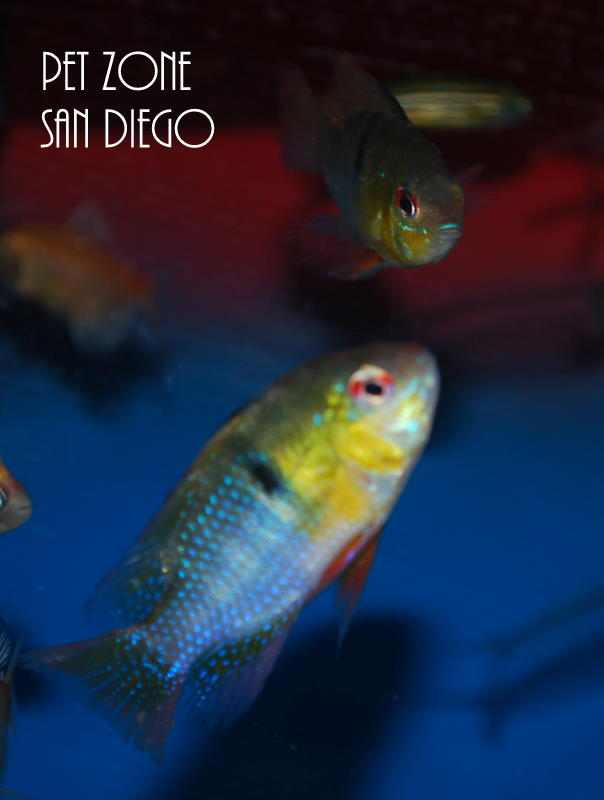 South American Cichlids German Blue Ram Papiliochromis