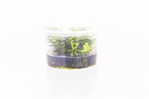 Aquarium Plants Ammania Bonsai Tissue Culture