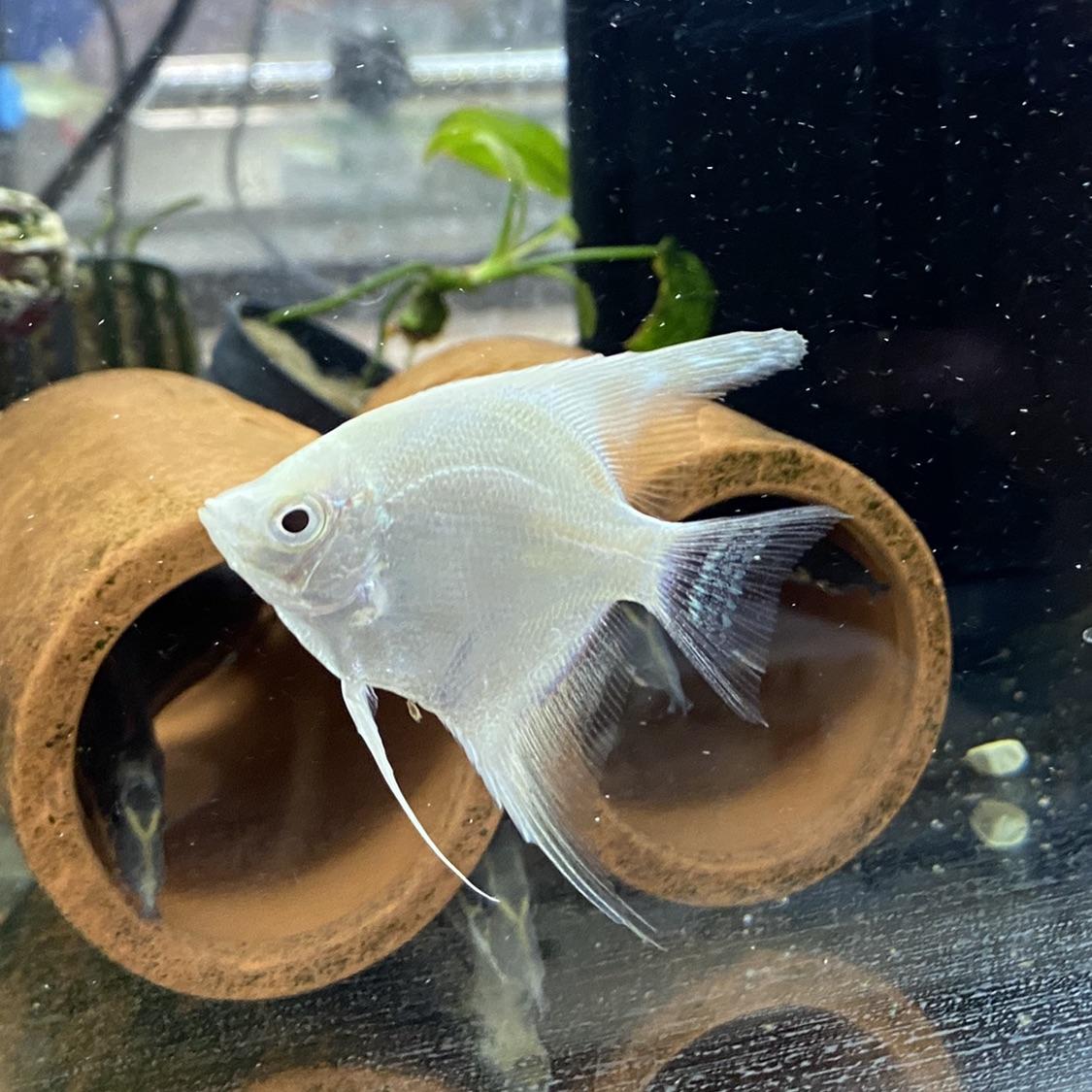Platinum Angelfish Pet Zone Tropical Fish San Diego California